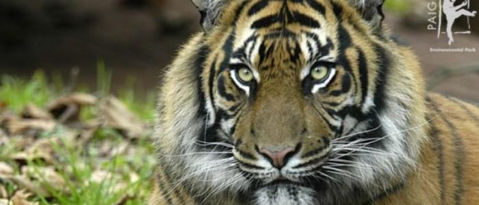 tigersm(1)